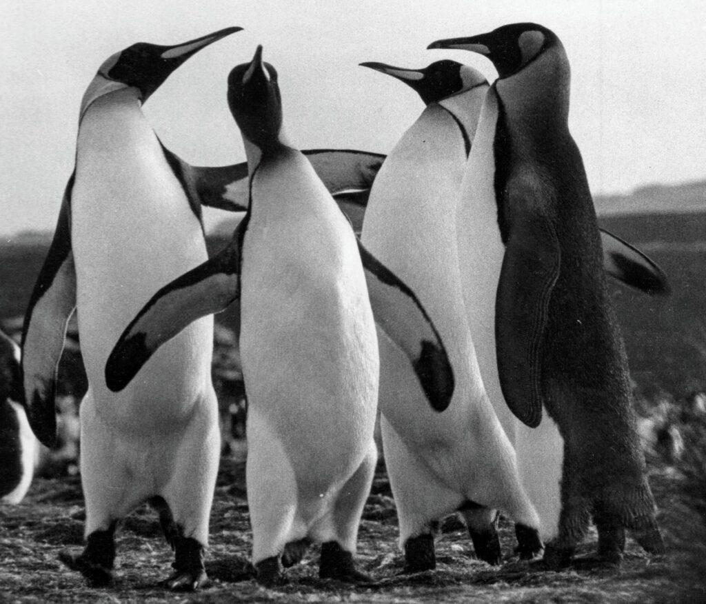 Kungspingvinkamrater på Falklandsöarna