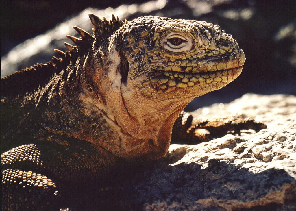 Drushuvudödla, eller landiguana som den också kallas, en av många unika medvarelser på Galápagos.