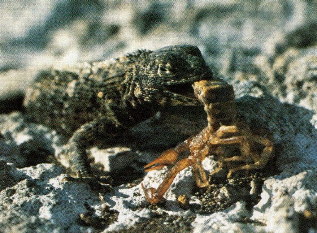 Knölsvansödla med skorpion i munnen, sid. 74 i Urtid i Nutid