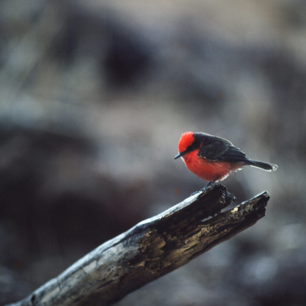Galapagos rubinröda flugsnappare.